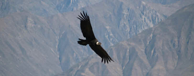 Condors It Was A Lie